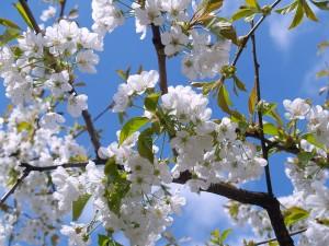 Pollenallergi og akupunkturbehandling